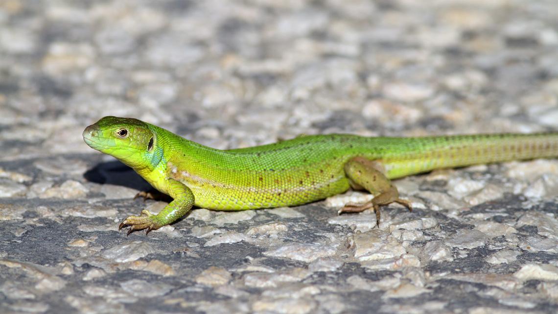Yeşilistan – İri Yeşil Kertenkele (Lacerta trilineata)