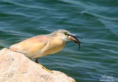 Alaca Balıkçıl