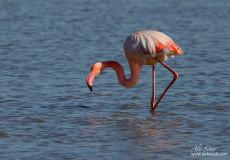 Allı Turna – Flamingo (Phoenicopterus roseus)