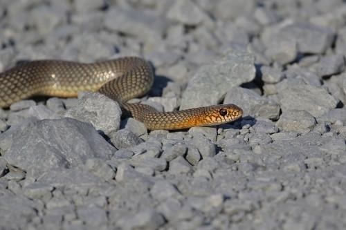 mar-yılanı