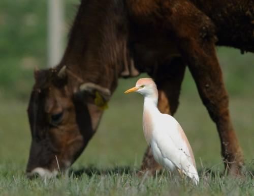 sığır-&-balıkçıl