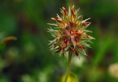 Yıldız Yonca (Trifolium stellatum)