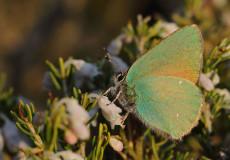 Zümrüt (Callophrys rubi)