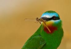 Yeşil Arıkuşu