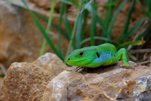 yeşil-kertenkele
