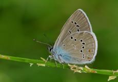 Çokgözlü Güzel Mavi (Polyommatus bellis)