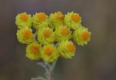 Helichrysum plicatum subsp. plicatum (Mantuvar)