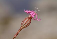 Silene caryophylloides subsp. echinus (Kirpi nakılı)