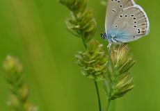 Çokgözlü Mazarin Mavisi  (Polyommatus semiargus)