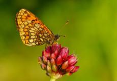 Melike Amannisa (Melitaea britomartis)