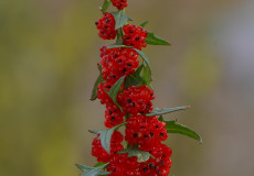 Chenopodium foliosum (Cülek)
