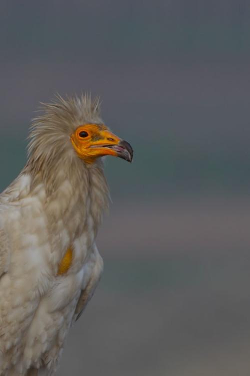 akbaba-portre-kb