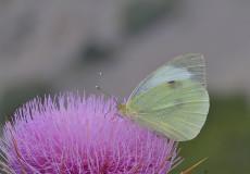 Büyük Beyazmelek (Pieris brassicae)