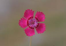 Dianthus zonatus var. zonatus (Kaya Karanfili)