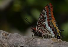 Çift Kuyruklu Paşa (Charaxes jasius)
