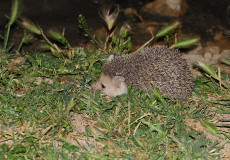 Uzunkulaklı Çöl Kirpisi – Long-eared Hedgehog – Hemiechinus auritus