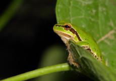 Yeşil Kurbağa (Hyla savignyi)