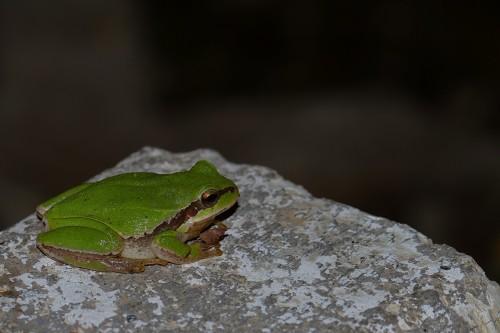 yeşil-kurbağa-3