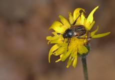 Blitopertha nigripennis
