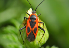 Calocoris nemoralis f.confluens