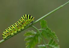 Kırlangıçkuyruk (Papilio machaon)