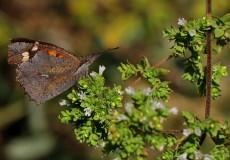 Çitlenbik Kelebeği