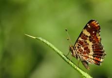Isırgan Kelebeği