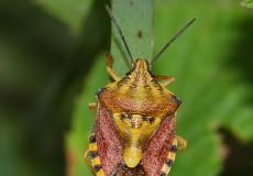 Carpocoris melanocerus