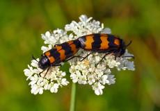 Mylabris variabilis