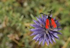 Zygaena purpuralis