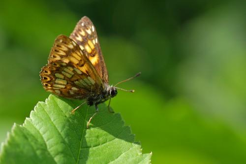 incili-kelebek-kü
