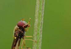Syrphidae (Platycheirus scutatus dişi birey)