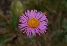 Kaf Şifaotu (Erigeron caucasicus subsp. caucasicus)