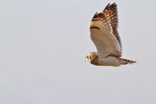 kır-baykuşu-uçar-2