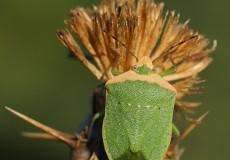 Yeşil Tısböceği (Nezara viridula)