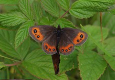 İskoç Güzelesmeri (Erebia aethiops)