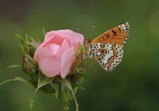 İparhan  (Melitaea cinxia)
