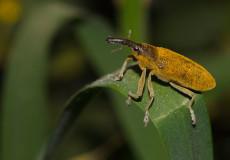 Lixus pulverulentus