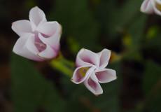 Büyük yayılgan (Convolvulus betonicifolius subsp. )