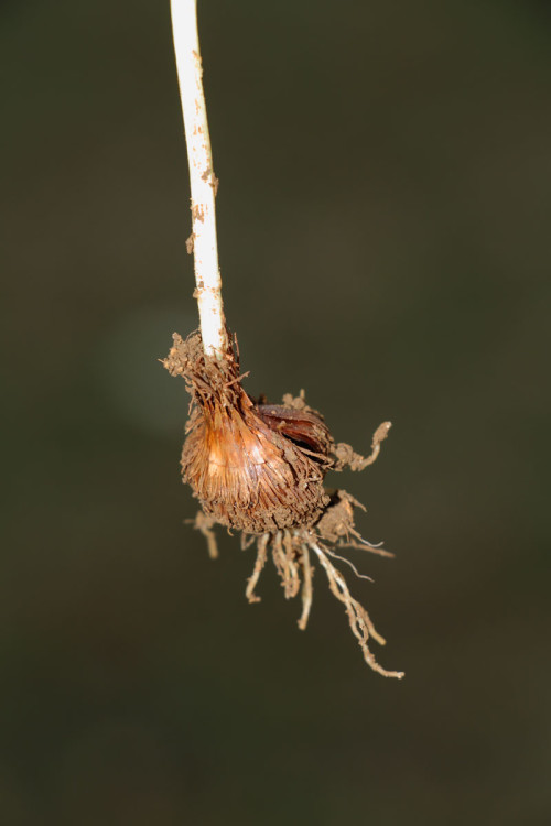 hircin-cigdem-crocus-olivieri-subsp-3