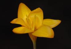 hırçın çiğdem (Crocus olivieri subsp. olivieri)
