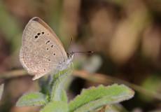 Karsandra (Zizeeria karsandra)
