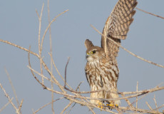 Bozdoğan (Falco columbarius)