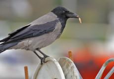 Leş kargası (Corvus cornix)