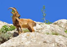Yaban Keçisi ( Capra aegagrus)