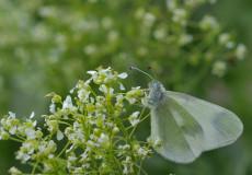 Doğulu Narin Orman Beyazı  (Leptidea duponcheli)