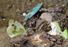 Krüper`in Beyazmeleği  (Pieris krueperi)