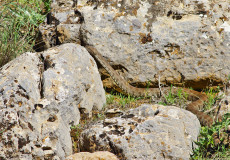 Koca Engerek  (Macrovipera lebetina)