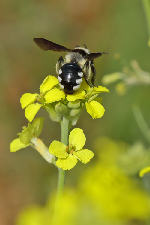 Andrena albopunctata 2
