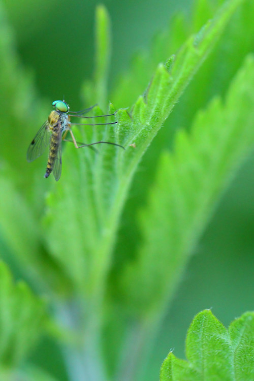 Rhagionidae – Chrysopilus asiliformis 2